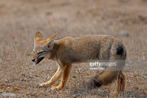 south american grey fox (pseudalopex griseus) snarling, patagonia, argentina - gray fox stock photos and pictures