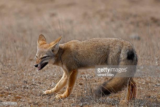 south american grey fox (pseudalopex griseus) snarling, patagonia, argentina - gray fox stockfoto's en -beelden