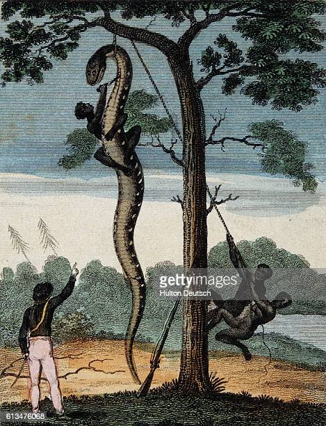 South American huntsmen string a boa constrictor up from a tree in preparation for skinning