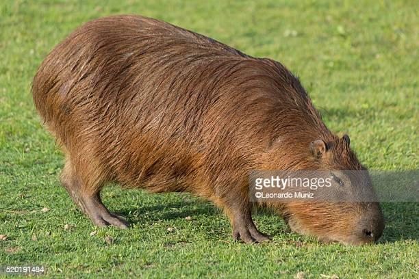 south american mammal called capybara (hydrochoerus). - zone d'exclusion aérienne photos et images de collection
