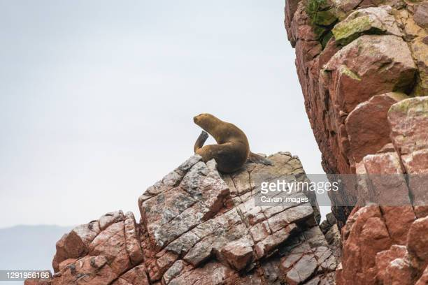 south american sea lion on rock at ballestas islands, paracas, peru - bedrock stock pictures, royalty-free photos & images