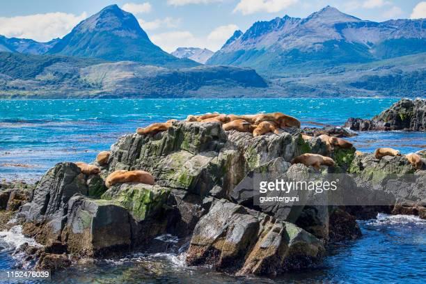 south american sea lions sunbathing in beagle channel, tierra del fuego, patagonia - area selvatica foto e immagini stock