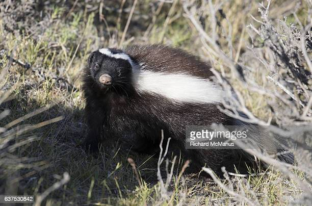 south american skunk in torres del paine, chile. - skunk stock photos and pictures