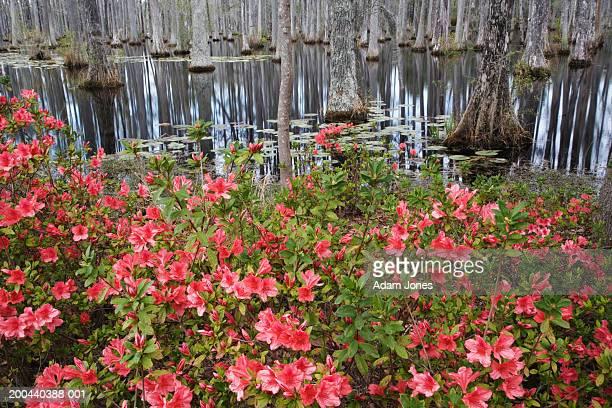 usa, south carolina, charleston, azaleas and bald cypress trees - azalea stock pictures, royalty-free photos & images