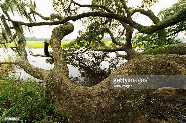 usa, south carolina, charleston, spanish moss on oak trees - live oak tree stock pictures, royalty-free photos & images