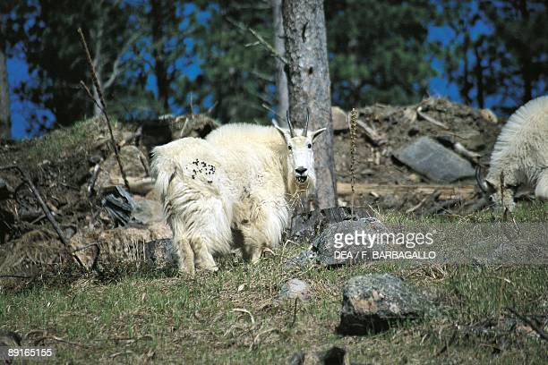 USA South Dakota Black Hills National Forest Mountain Goat