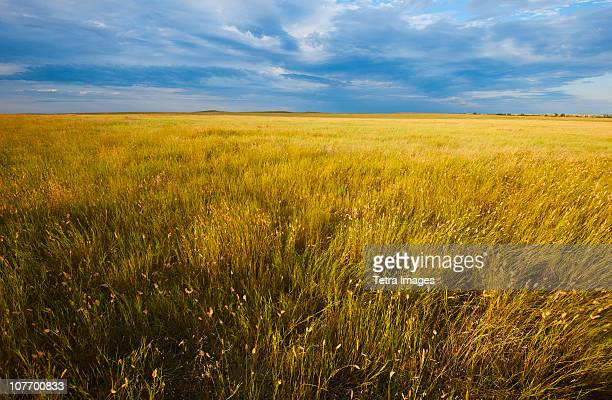 usa, south dakota, buffalo gap national grasslands, yellow prairie grass - great plains stock pictures, royalty-free photos & images