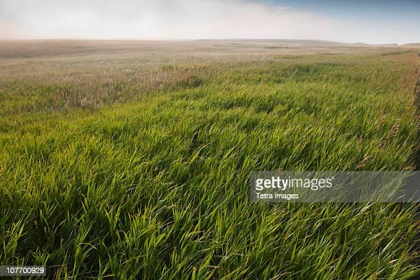 USA, South Dakota, Prairie grass in Buffalo Gap National Grasslands