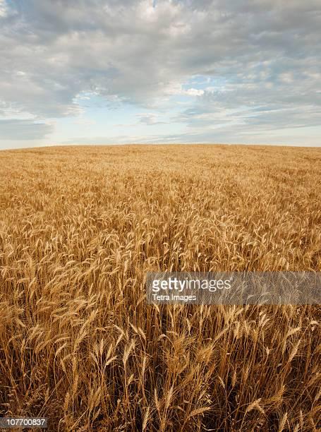 USA, South Dakota, Wheat field