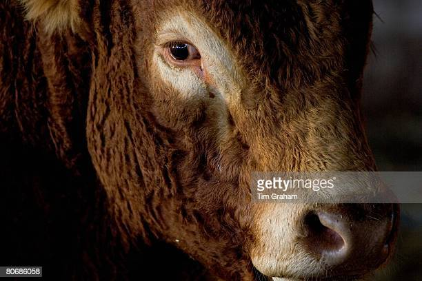 South Devon bull at Sheepdrove Organic Farm Lambourn England