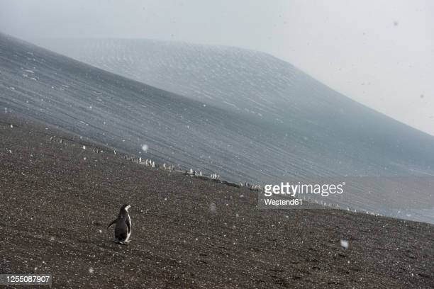 uk, south georgia and south sandwich islands, chinstrap penguin (pygoscelis antarcticus) colony on volcanic hillside of saunders island - chinstrap penguin stock pictures, royalty-free photos & images