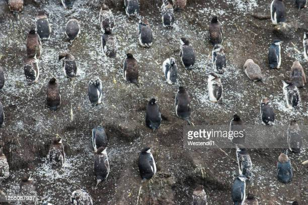 uk, south georgia and south sandwich islands, chinstrap penguin (pygoscelis antarcticus) colony on saunders island - chinstrap penguin stock pictures, royalty-free photos & images