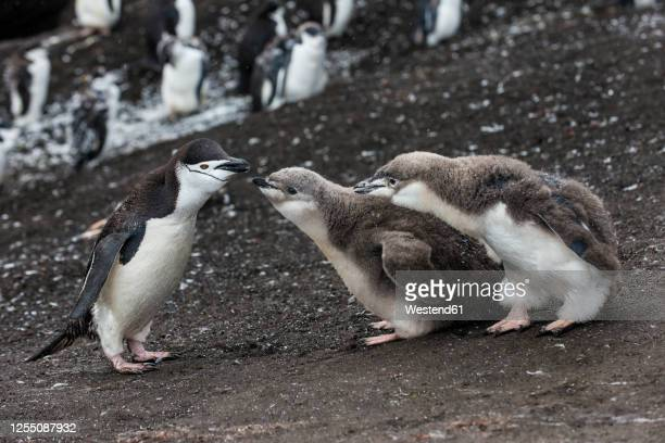 uk, south georgia and south sandwich islands, chinstrap penguin(pygoscelisantarcticus)feeding chickson saunders island - chinstrap penguin stock pictures, royalty-free photos & images