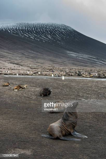 uk, south georgia and south sandwich islands, colonies of chinstrap penguins (pygoscelis antarcticus) and antarctic fur seals (arctocephalus gazella) on saunders island - chinstrap penguin stock pictures, royalty-free photos & images