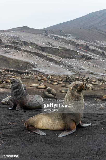 uk, south georgia and south sandwich islands, colonies of chinstrap penguins(pygoscelisantarcticus)and antarctic fur seals(arctocephalusgazella)on saunders island - chinstrap penguin stock pictures, royalty-free photos & images