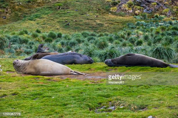 uk, south georgia and south sandwich islands, grytviken, colony of southern elephant seals (mirounga leonina) - medium group of animals stock pictures, royalty-free photos & images
