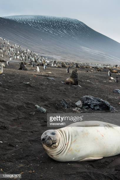 uk, south georgia and south sandwich islands, portrait of southern elephant seal (mirounga leonina) relaxing on sand in front of chinstrap penguin(pygoscelisantarcticus) colony - chinstrap penguin stock pictures, royalty-free photos & images
