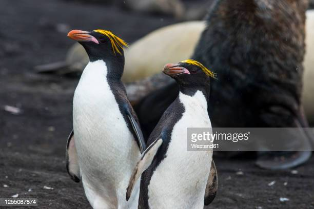 uk, south georgia and south sandwich islands, portrait of two southern rockhopper penguins(eudyptes chrysocome) - rockhopper penguin stock pictures, royalty-free photos & images