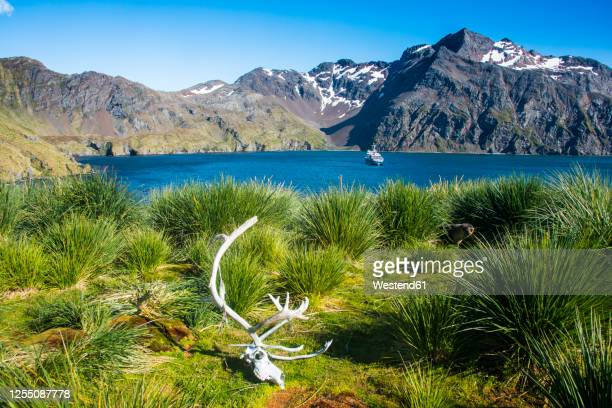 uk, south georgia and south sandwich islands, reindeer skull lying on bushy shore of godthul bay - passenger craft stock pictures, royalty-free photos & images
