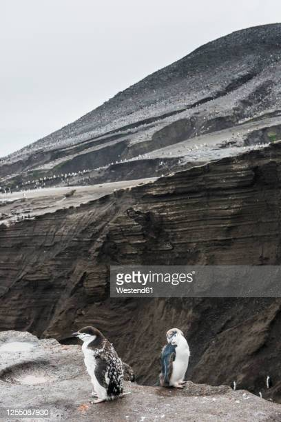 uk, south georgia and south sandwich islands, two chinstrap penguins (pygoscelis antarcticus) standing on edge of volcanic cliff on saunders island - chinstrap penguin stock pictures, royalty-free photos & images
