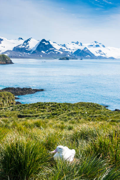 UK, South Georgia and South Sandwich Islands, Wandering albatross (Diomedea exulans) sitting on grassy shore of Prion Island