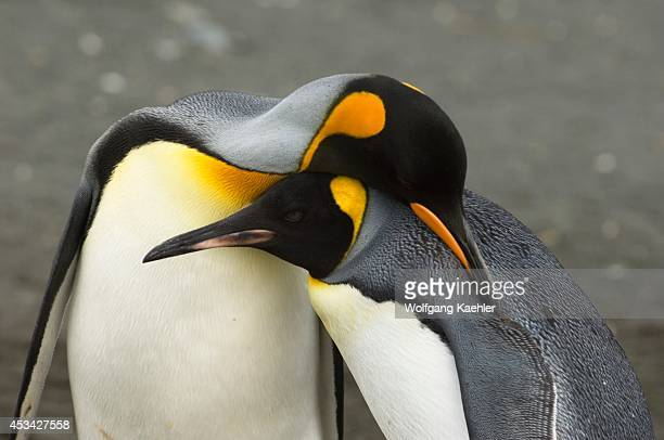 South Georgia Island Gold Harbour King Penguin Colony King Penguin Couple Courting Behavior