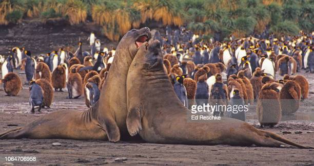 southern elephant seal bulls aggressively fighting (mirounga leonine) south georgia - ed reschke photography stock photos and pictures