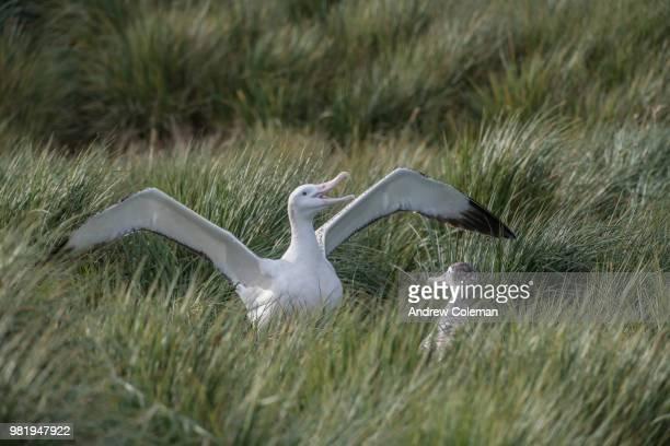 Wandering albatross birds during a mating dance.
