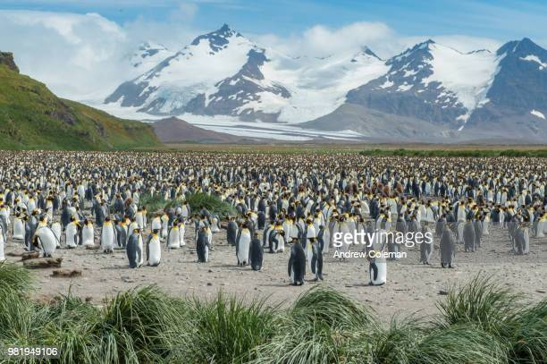 a large king penguin colony roosts in a mountainous valley. - colony group of animals stock photos and pictures