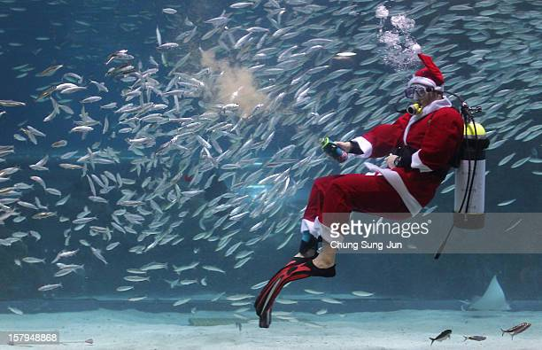 South Korean diver clad in Santa Claus costume swims with sardines at The Coex Aquarium on December 8 2012 in Seoul South Korea Even though the...