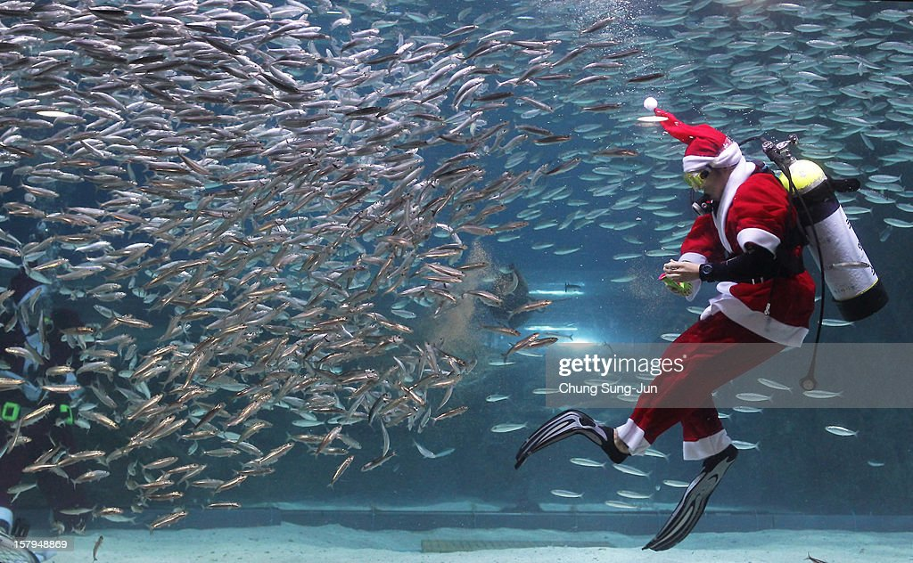 A South Korean diver clad in Santa Claus costume swims with sardines at The Coex Aquarium on December 8, 2012 in Seoul, South Korea. Even though the official religion of South Korea is Buddhism, about 30 percent of it is Christian and Christmas is one of the biggest holidays to be celebrated in South Korea.