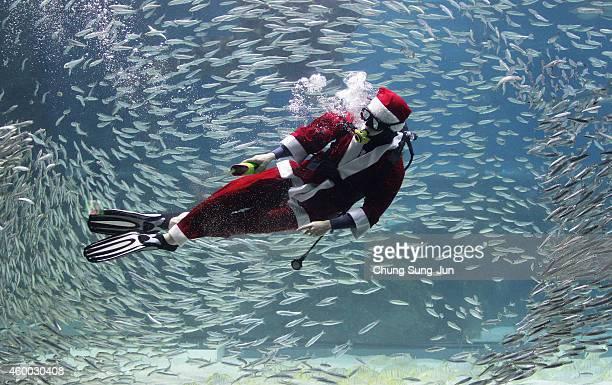 South Korean diver clad in Santa Claus costume swims with sardines at the Coex Aquarium on December 6 2014 in Seoul South Korea