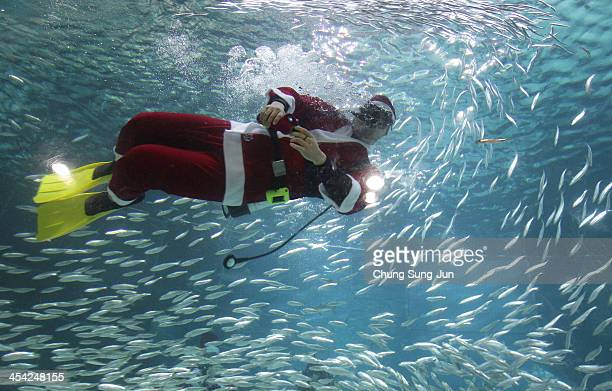 South Korean divers clad in Santa Claus costume swim with sardines at the Coex Aquarium on December 8 2013 in Seoul South Korea Even though the...