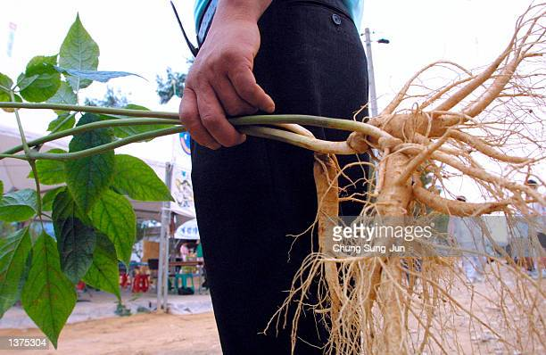 South Korean man holds a ginseng plant September 9 2002 in Geumsan south of Seoul South Korea The reported curative properties of ginseng make it...