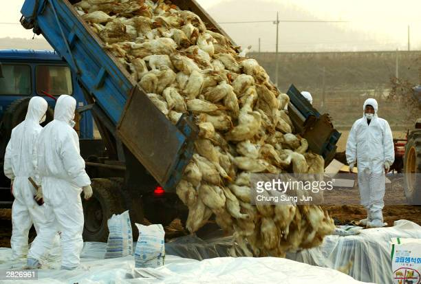 South Korean soldiers and national veterinary and quarantine service personnel bury hundreds of carcasses at a duck farm affected by a highly...