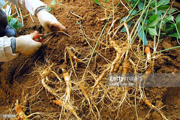 South Korean woman digs up ginseng from a field September 9 2002 in Geumsan south of Seoul South Korea The reported curative properties of ginseng...