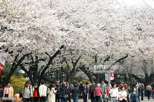 South Koreans walk beneath cherry blossoms at the Youido blossom festival near the national assembly April 12 2008 in Seoul South Korea Cherry...