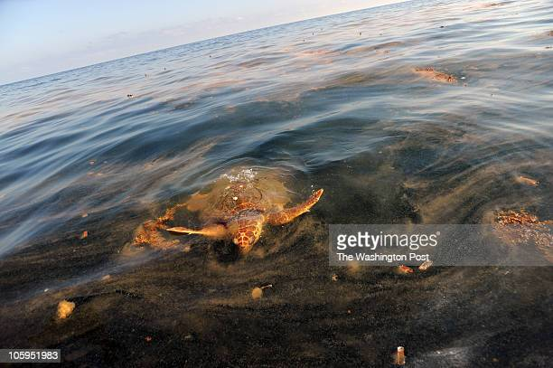 A sea turtle surfaces to feed on Portuguese ManOWar contaminated with oil due to the spill from the Deepwater Horizon rig disaster float dying on the...