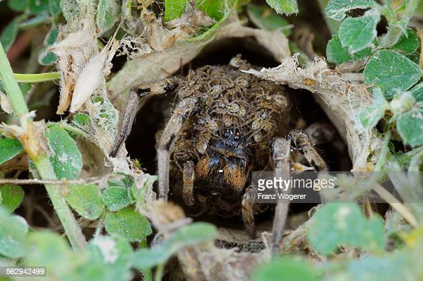 south russian tarantula -lycosa singoriensis- looking out of its hole, spiderlings on the back, bulgaria - aranha armadeira imagens e fotografias de stock