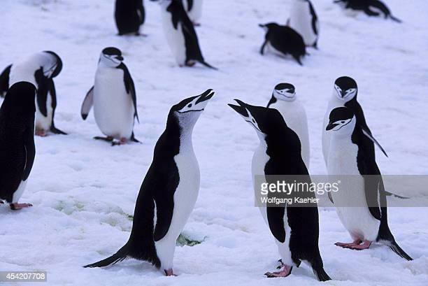 South Sandwich Islands Candlemas Island Chinstrap Penguins At Nest Sites Covered With Snow Displaying
