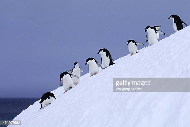 South Sandwich Islands Candlemas Island Chinstrap Penguins Descending Steep Slope