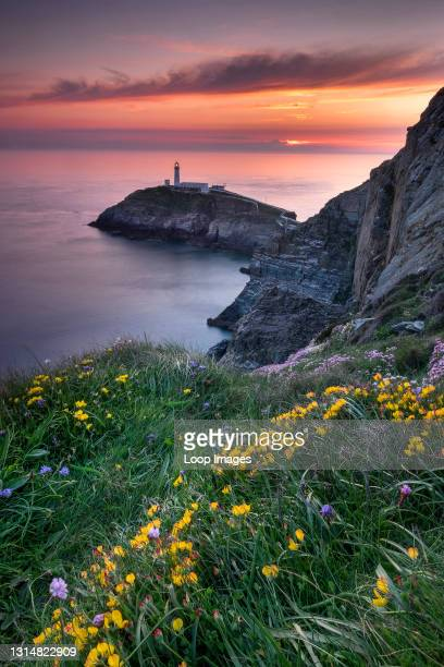 South Stack Lighthouse and coastal wildflowers at sunset on Anglesey.