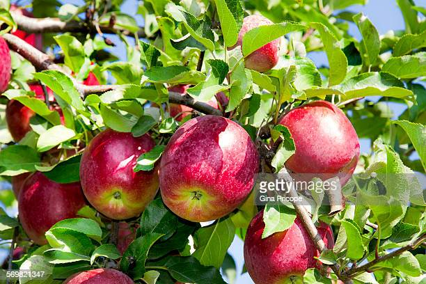 south tyrol, red apples on the tree. - alto adige bildbanksfoton och bilder