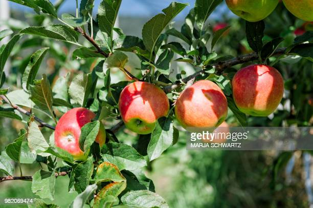 South Tyrolean Apples