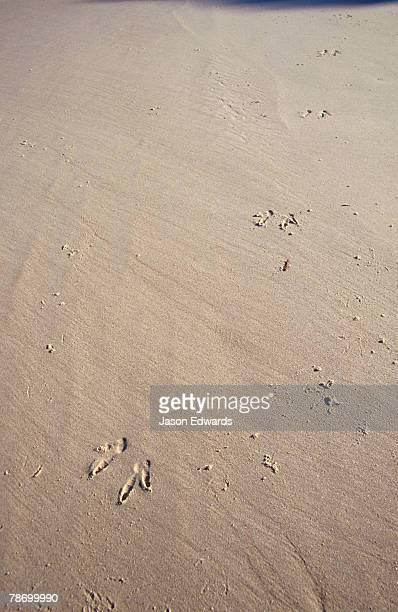 A kanagaroo leaves a trail of prints along a remote sand beach.