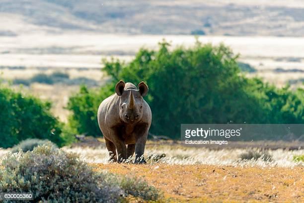 South Western Black Rhinoceros or Hooklipped Rhinoceros Desert Rhino Camp Palmwag Concession Namibia