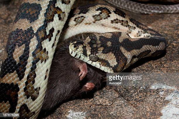 South western carpet python feeding on large rodent Series of 6 images Yalgorup National Park Western Australia