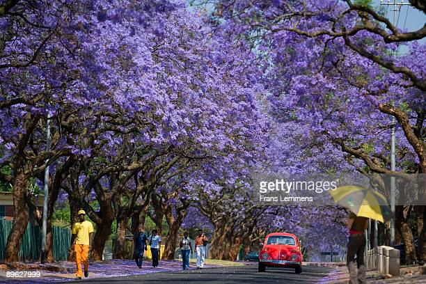 South-Africa, Pretoria, Blooming Jacaranda trees