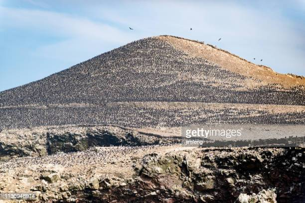 south-american seabirds in ballestas islands national reserve, peru - pisco peru stock photos and pictures
