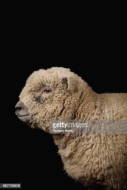 Southdown Ewe Lamb